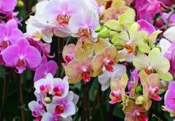 Ошибки при уходе за орхидеями фаленопсис