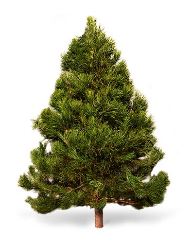Самые красивые живые елки