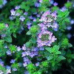 Лекарственные растения: Тимьян ползучий