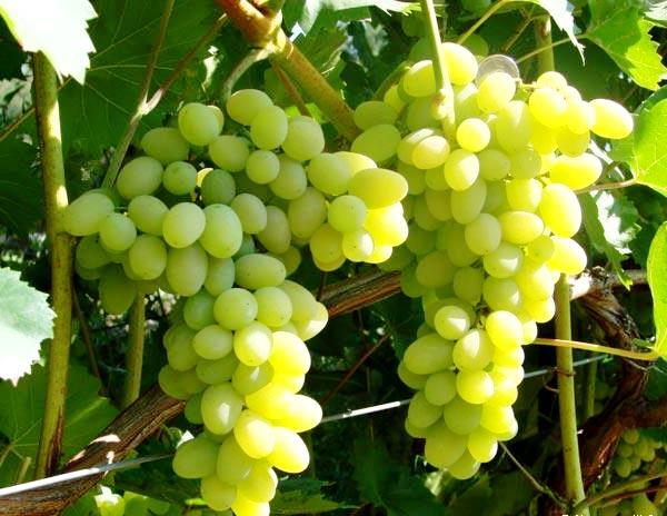 Благоприятные периоды для пересадки винограда