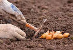 Осенняя посадка лука — ранний урожай