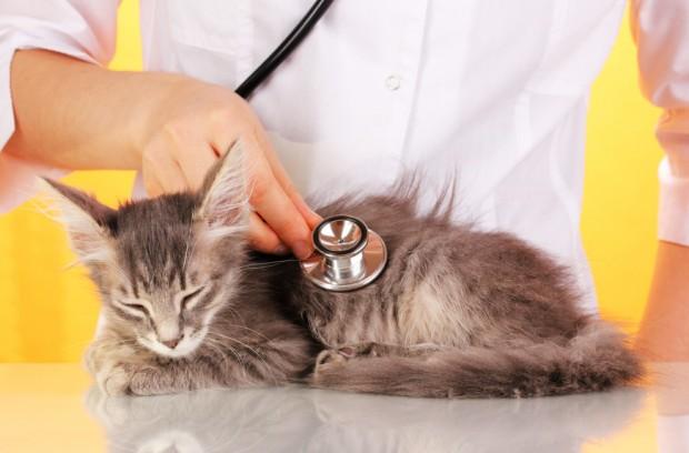 Особенности лечения почек у кошек