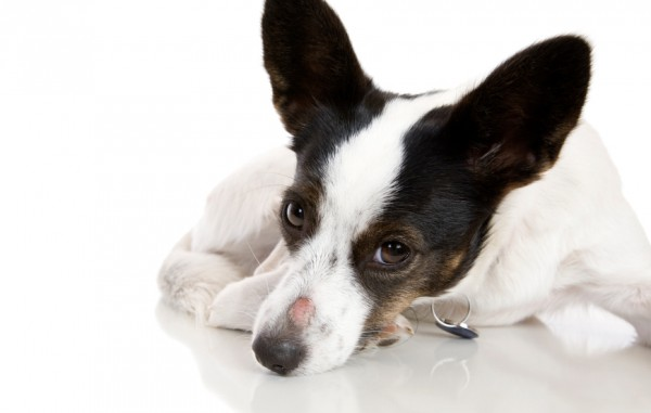 Признаки и лечение лишая у собаки