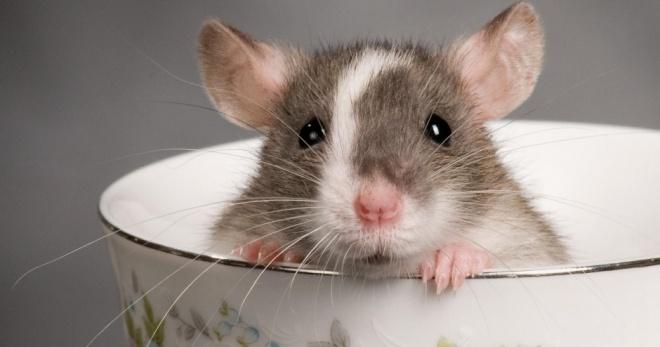 Особенности содержания домашних крыс