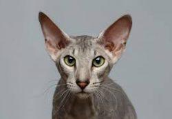 Кошки: ориентальная короткошерстная. Здоровье и уход