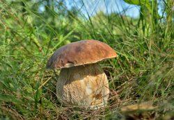 Белый гриб в кулинарии