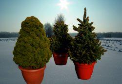 Новогодние деревья с доставкой от магазина «Агрономов.РУ»