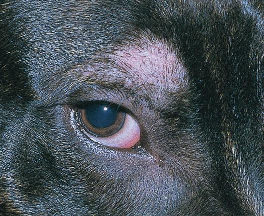 Алопеция у собак: симптоматика, причины и лечение